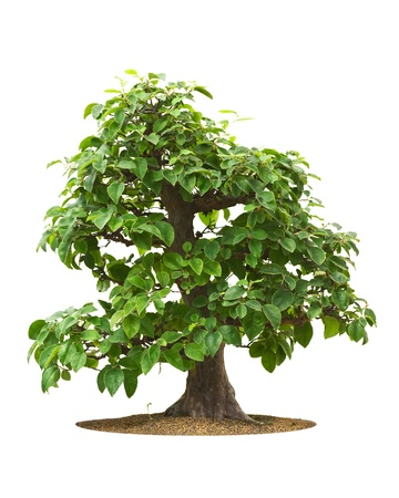 60 years old: Quince, 60 years old bonsai tree, on white background