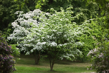 Two Kousa Dogwood trees, Cornus Kousa, Japanese Flowering Dogwood, in a park