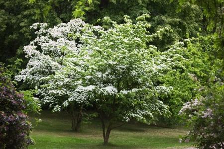Two Kousa Dogwood trees, Cornus Kousa, Japanese Flowering Dogwood, in a park