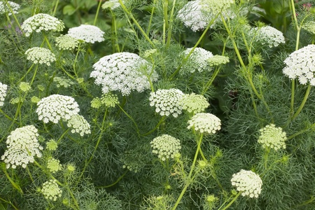 Lace flower or Bishops weed, Ammi majus Stock Photo - 9661505