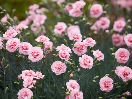 Close-up of carnations growing lush
