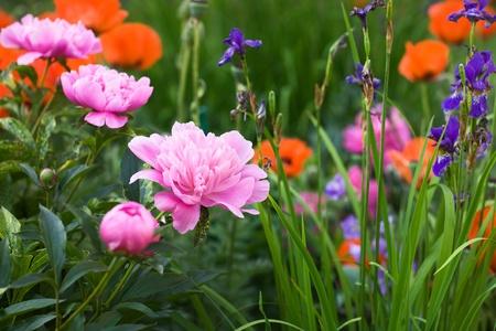 Flowering Pink Peonies, Irises and Poppies in Garden photo