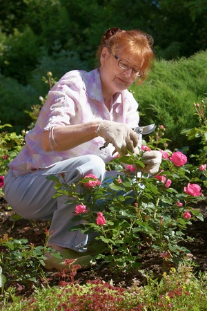 crouching: Mature woman pruning rose bush