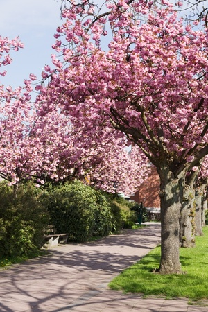 pink cherry: Cherry Blossom in a Park