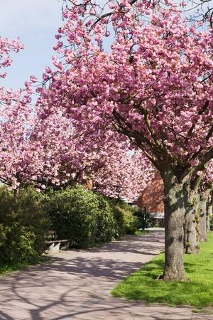 kersenbloesem: Cherry Blossom in een Park
