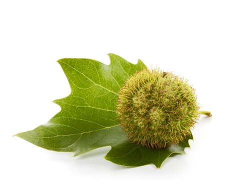 Seed and leaf of plane tree on white Stock Photo - 10029429