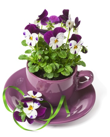 Beautiful Pansies Planted in a Purple Cup on White Background photo