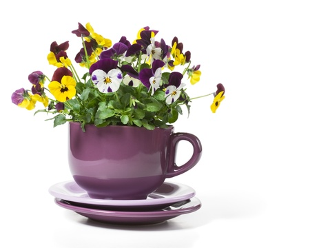 Pansies Planted in a Big Cup on White Background photo