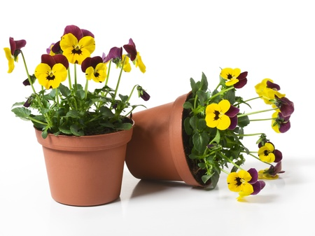 Two Flower Pots with Yellow Pansies on White Background