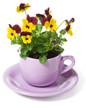 Yellow Pansies Planted in a Cup on White Background photo