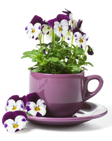 Pansies Planted in a Purple Cup on White Background