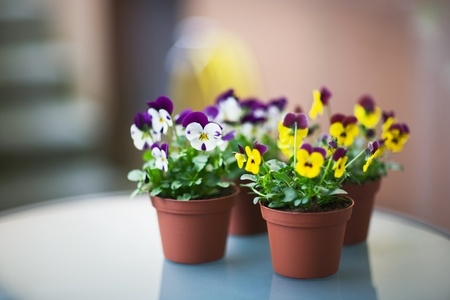 pansies: Pansies in Flower Pots, Selective Focus, Aperture 1,2