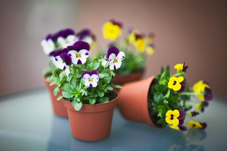 Potted plants: Pansies in Flower Pots, Selective Focus, Aperture 1,2