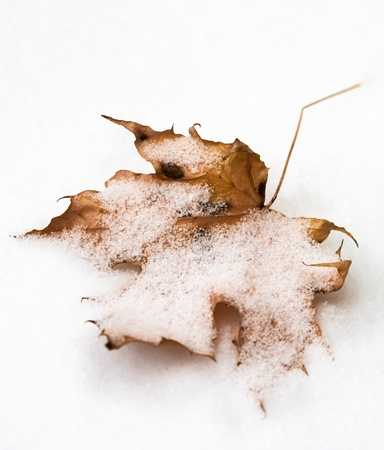 Maple Leaf Covered in Snow Stock Photo - 10029513