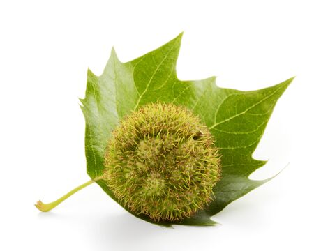 Seed and leaf of plane tree on white Stock Photo - 10029532