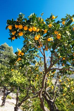 Orange trees, plantation, Majorca, Spain Stock Photo - 10229432