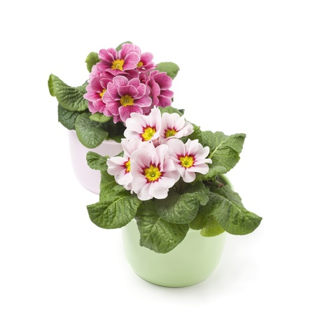 primrose: Two colorful primroses on white