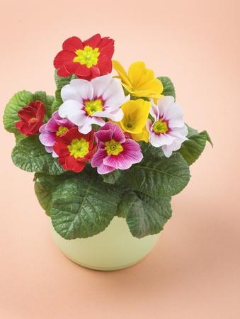 primrose: Colorful primrose in ceramic pot