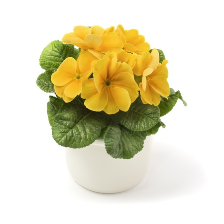 Yellow primrose in ceramic pot  Stock Photo