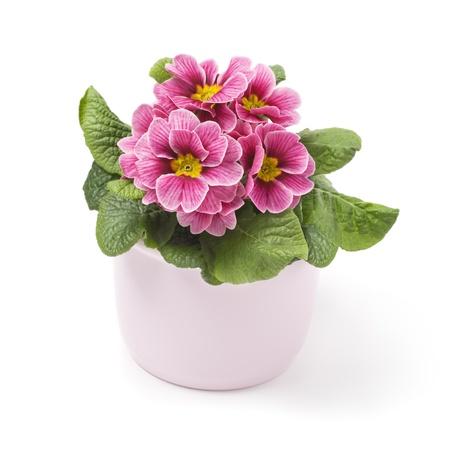 primrose: Pink primrose in ceramic pot