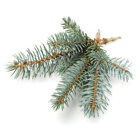 Branch of blue spruce on white
