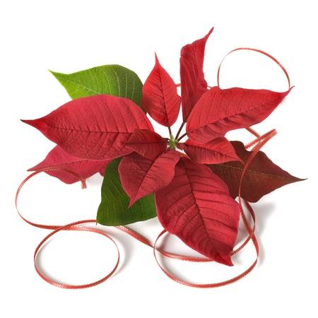 flor de pascua: Acuerdo de Navidad sobre fondo blanco