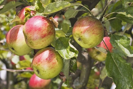 Apple tree view in my garden Stock Photo - 10473001
