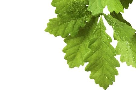 oak leaves: Leaves of oak tree with water drops