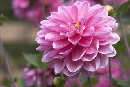달리아: 달리아 꽃의 근접 촬영