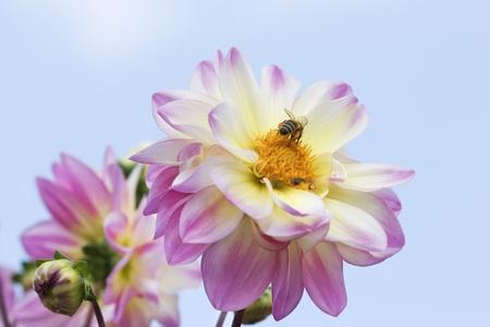 dalia: Primer plano de flor de Dalia