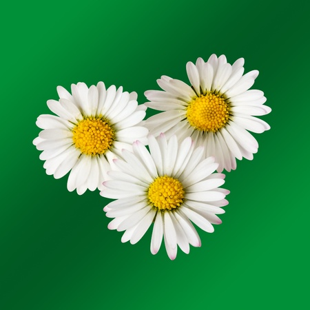 clipping  path: Three daisy flowers isolated with clipping path