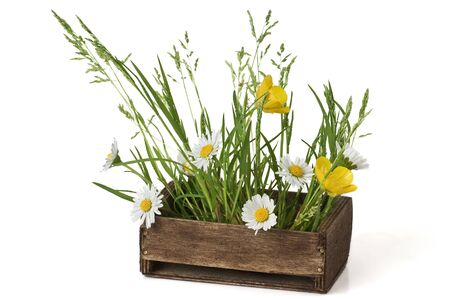 buttercup: Daisy, Buttercup and Grass in a wooden box Stock Photo