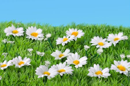 flowering field: White silk daisies in grass field Stock Photo