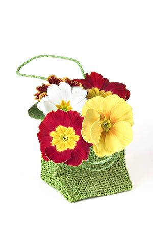 primula: Mixed primula flowers nested in a green bag