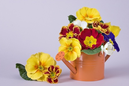 primula: Mixed primula flowers in the watering can Stock Photo