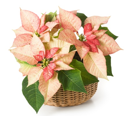 poinsettia: Pink poinsettia in a basket