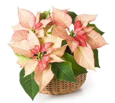 flor de pascua: Rosa flor de pascua en una cesta