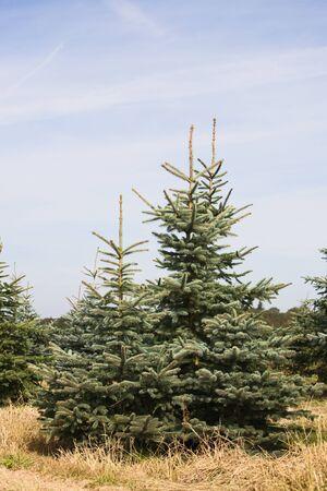 Spruce trees at a Christmas tree farm, Germany Stock Photo