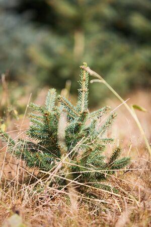 Spruce tree sapling at a Christmas tree farm, Germany
