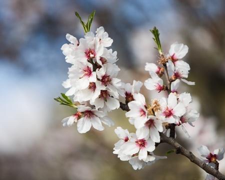 Blossoming almond tree branch, Majorca, Spain photo