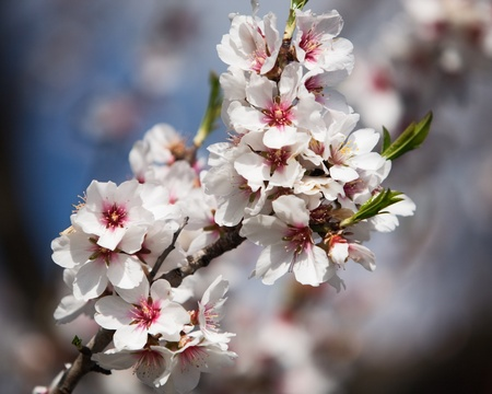 almond: Blossoming almond tree branch, Majorca, Spain Stock Photo