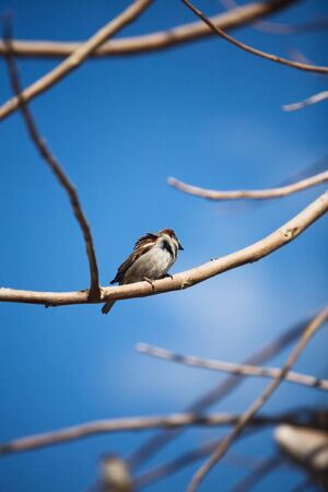 House sparrow perching on the branch photo