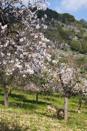 Almond orchard in blossom with sheep, Majorca, Balearic Islands, Spain photo