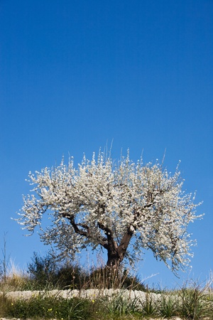 Beautiful single almond tree in Bloom, Majorca, Spain photo