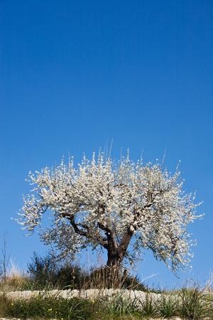 almond tree: Beautiful single almond tree in Bloom, Majorca, Spain