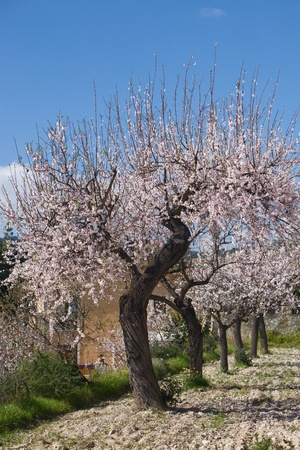almond tree: Almond orchard in blossom, Majorca, Balearic Islands, Spain