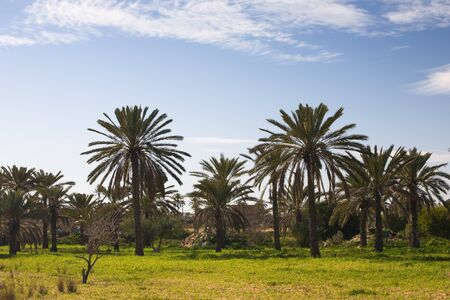 Date palm orchard, island of Djerba, Tunisia, Africa photo