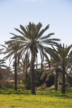 Date palm orchard, island of Djerba, Tunisia, Africa Stock Photo - 12454976