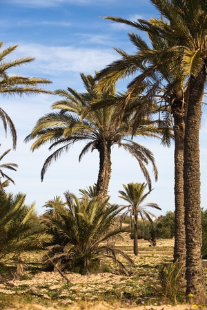 date palm tree: Date palms in the desert, island of Djerba, Tunisia, Africa