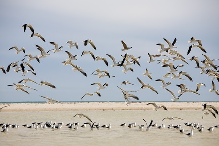Colony of seagulls at a coast, island of Djerba, Tunisia, North Africa photo